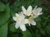 Mock_orange_flower_1