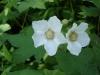 Thimbleberry_blossoms_small