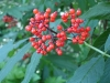 elderberry_red_berries