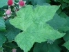 thimbleberry_furit_&_leaf