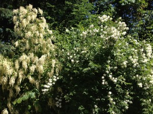 Oceanspray and mock orange in Madrona Woods